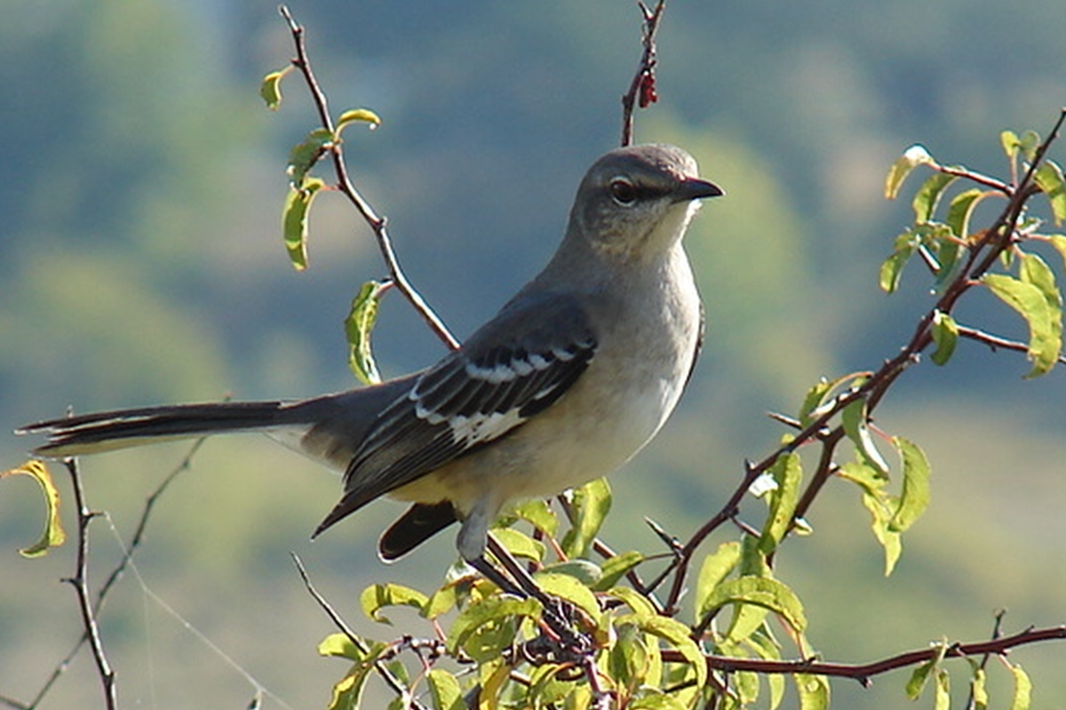 Mockingbird Morning